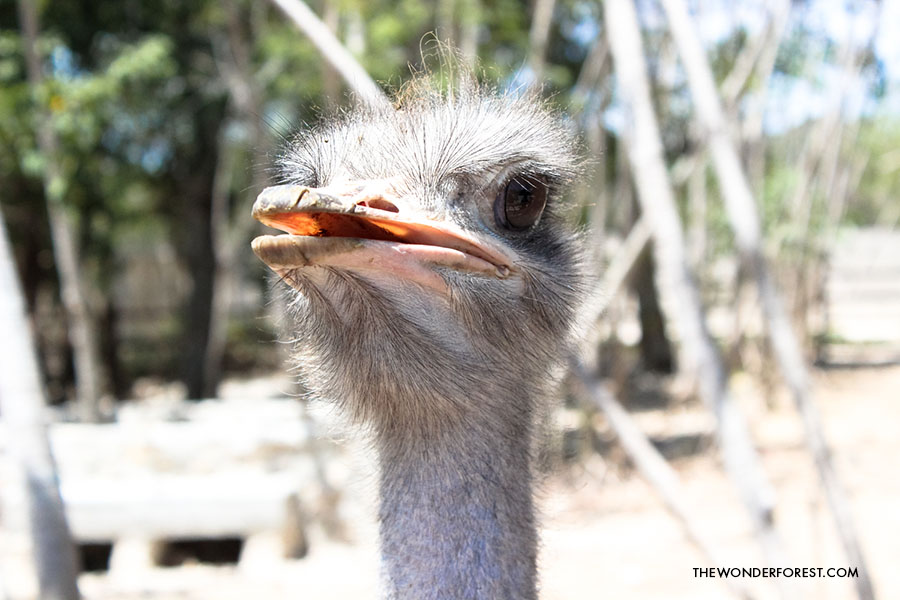 Ostrich at Akumal Monkey Sanctuary