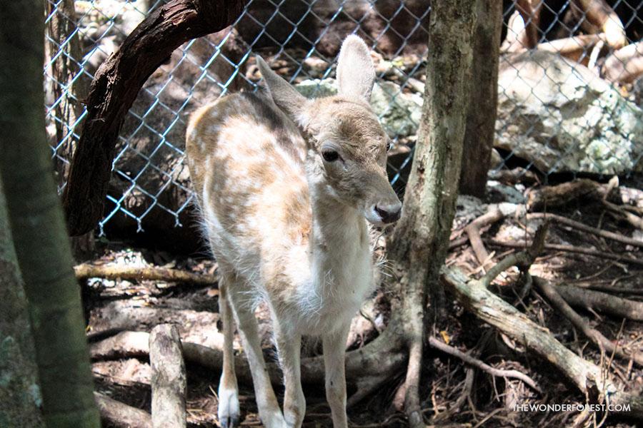 Deer at Akumal Monkey Sanctuary