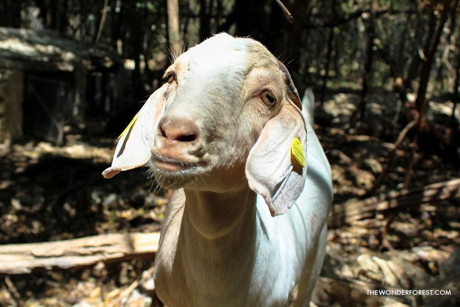 Goat at Akumal Monkey Sanctuary